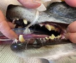 Before cleaning dog teeth